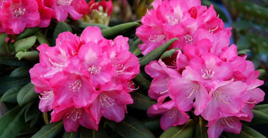 Jak wybrać krzewy ozdobne kwitnące?