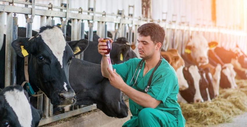 ABC diagnostyki najczęstszych chorób bydła