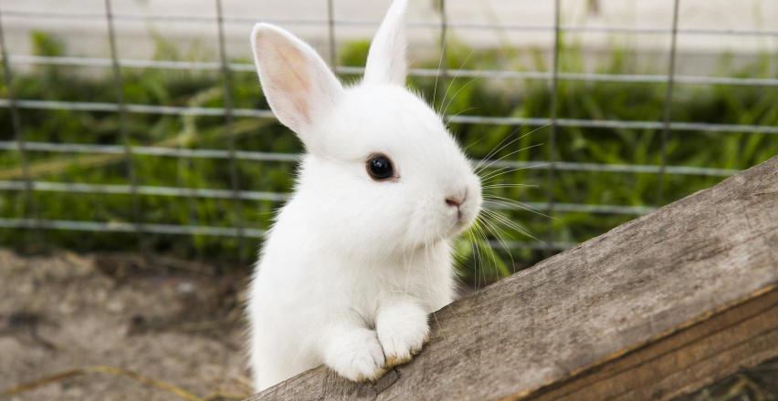 Jak opiekować się królikiem?