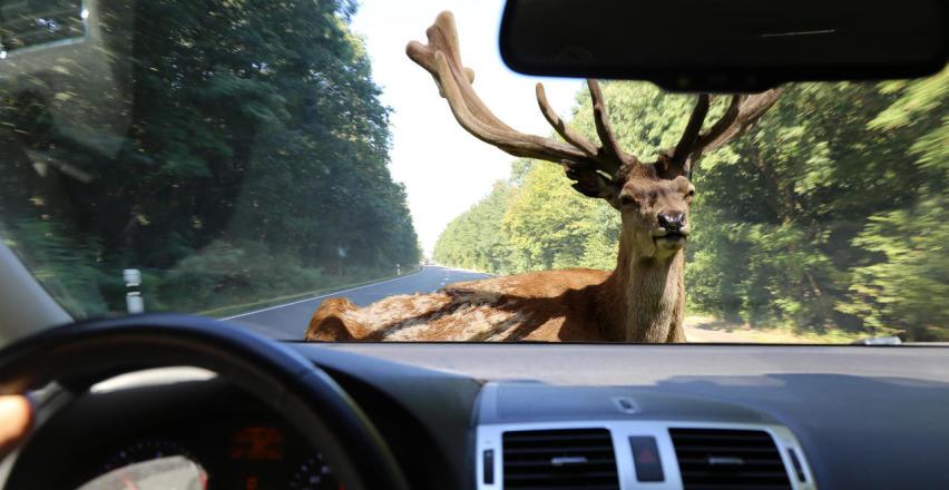 Zdarzenia drogowe z udziałem dzikich zwierząt - jak postępować?