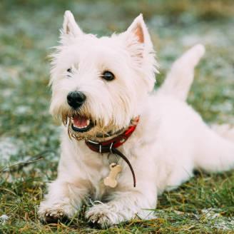 West Highland White Terrier. W jaki sposób dbać o psy tej rasy?
