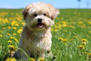 Maltańczyk – idealny pies do towarzystwa