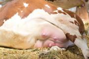 Mastitis u krowy - wpływ zapalenia wymienia na zmiany jakościowe w mleku