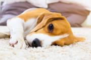 Nużeniec u psa. Groźna choroba skóry czworonogów